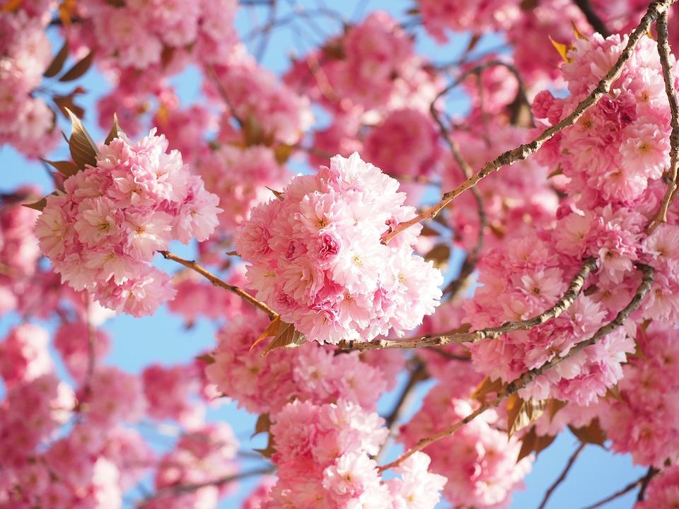 cherry-blossom-1260646_960_720