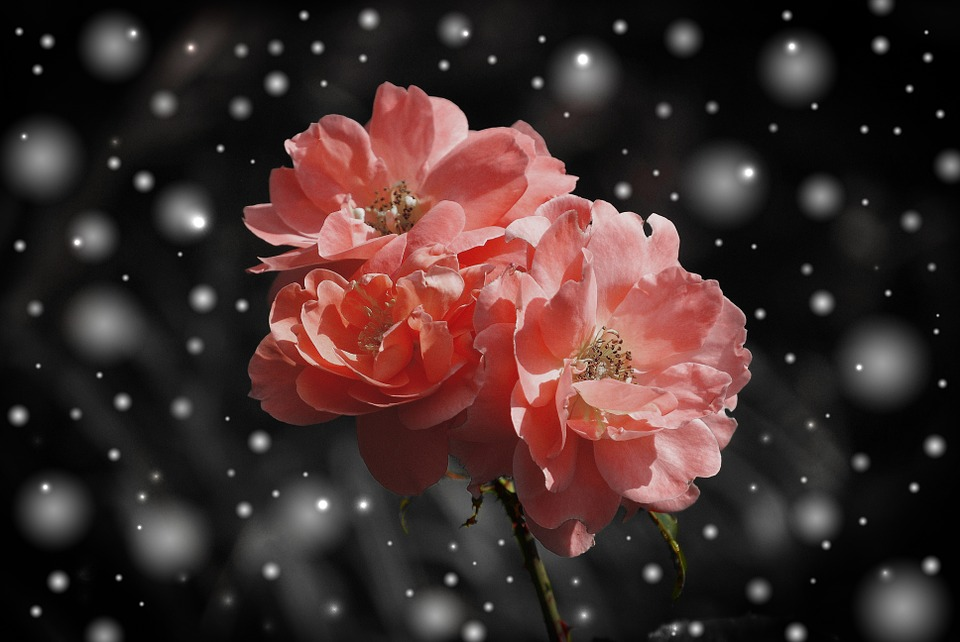 rose-572757_960_720